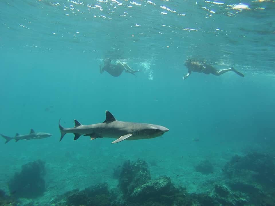 Guests encounter with White tip Reef Shark while snorkeling in the Galapagos Islands.
