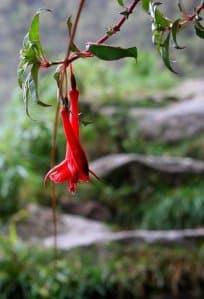 Wakanki flower.