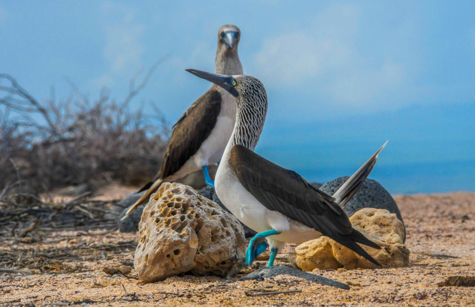 Blue-footed boobies.