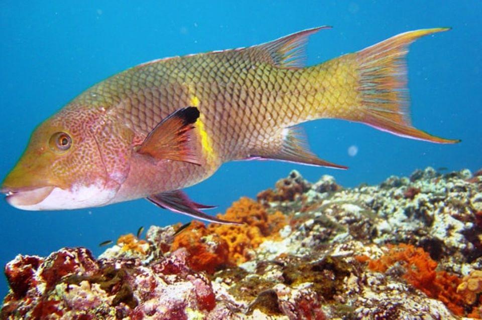 Streamer Hog Fish.