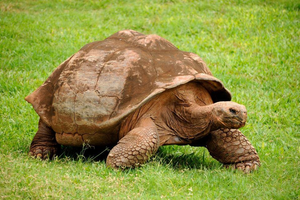 Galapágos tortoise.