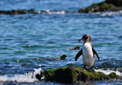 A Galapagos penguin spotted by the shores.