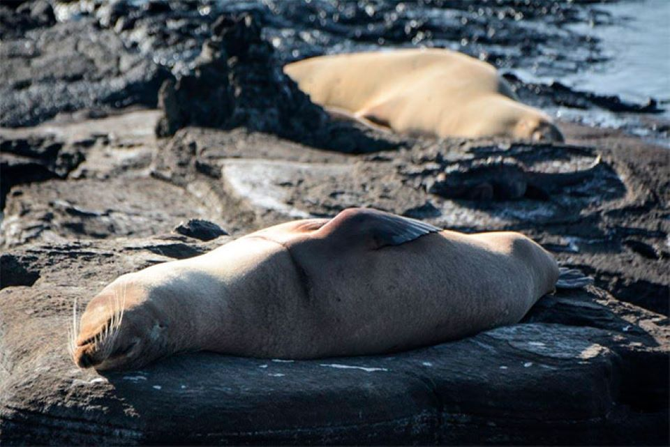 Galapagos sea lion in Buccaneers Cove in Santiago Island.