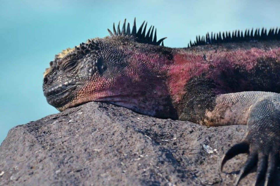 Marine iguana resting on top of a rock at the Galapagos Islands.