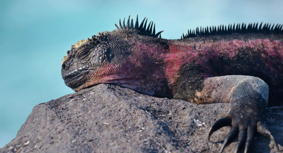 A marine iguana resting on top of a rock in the Galapagos Islands.