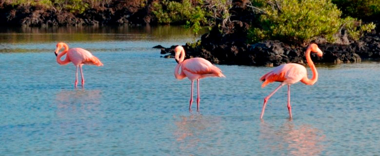 A group of flamingos in the Enchanted Islands