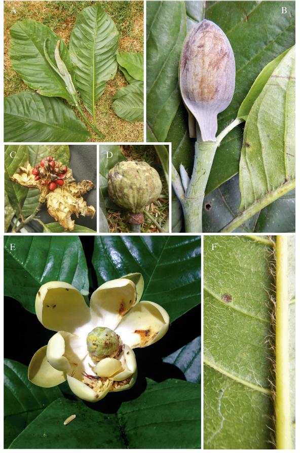 Magnolia Mashpi