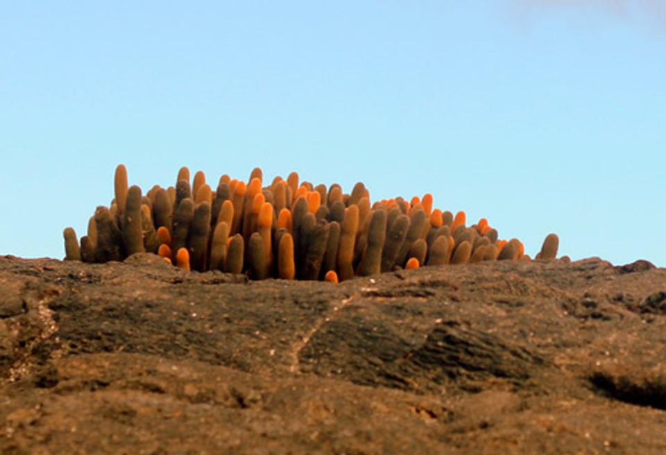 The endemic lava cactus Brachycereus nesioticu.