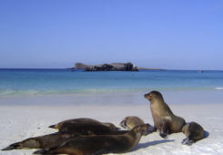 Galapagos sea lions at the beach.
