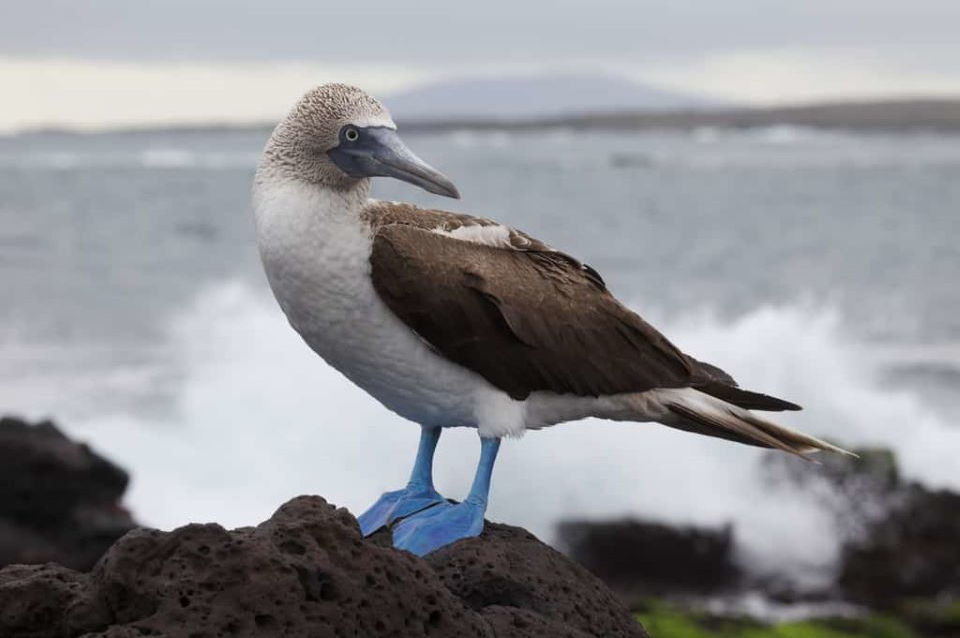 A blue-footed booby.