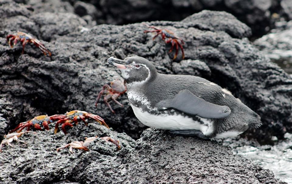 Galapagos penguin.