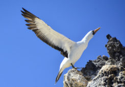 A nazca booby in the Galapagos Islands.