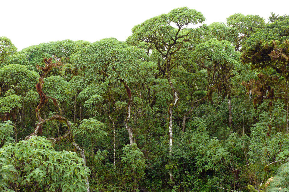 Scalesia forest.