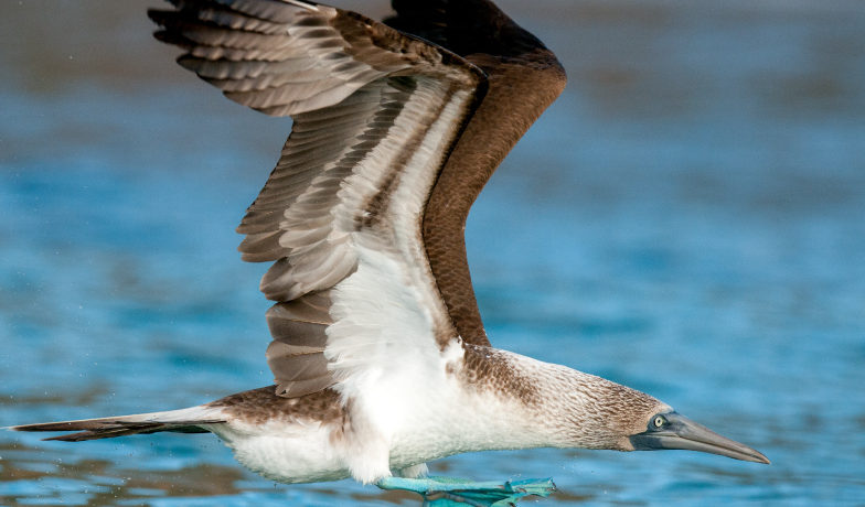 Galapagos Islands – Blue-Footed Booby