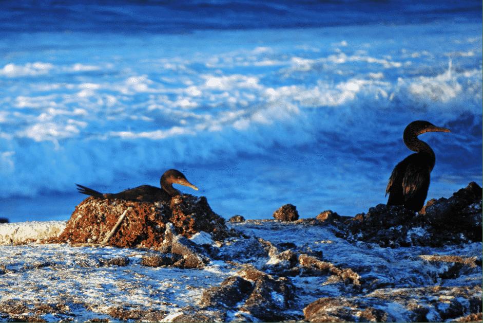 Galapagos-Cormorant