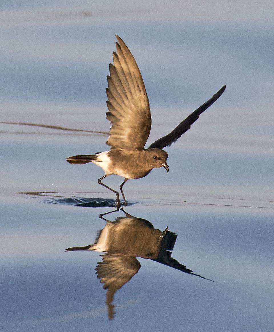 storm petrel taking flight