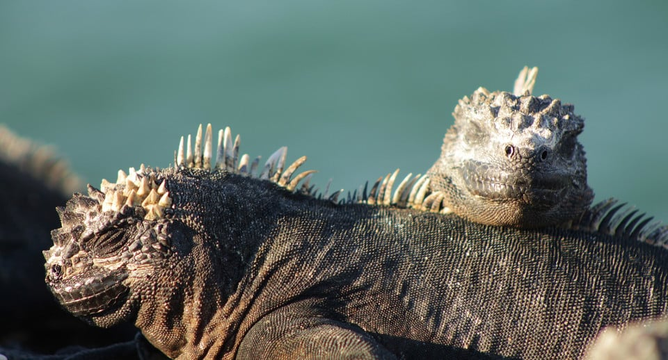 Marine Iguanas under the sun in the Galapagos Islands.