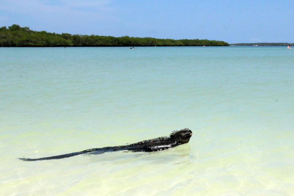 Galapagos Marine iguana swimming in Tortuga Bay.