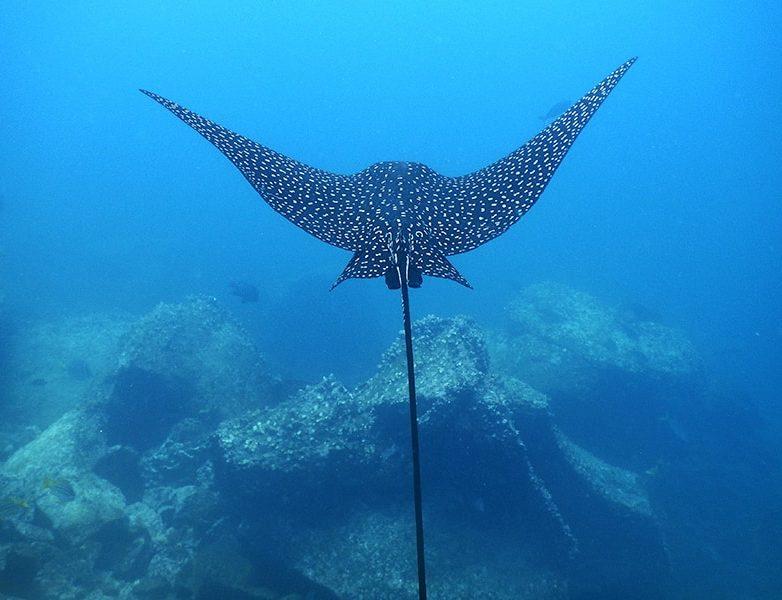 Galapagos-Stingray