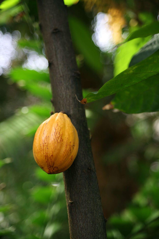 Fine aroma cacao