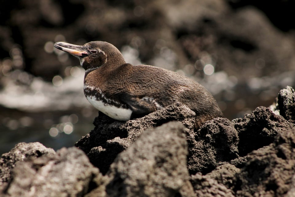 Galapagos Islands penguin iconic species.