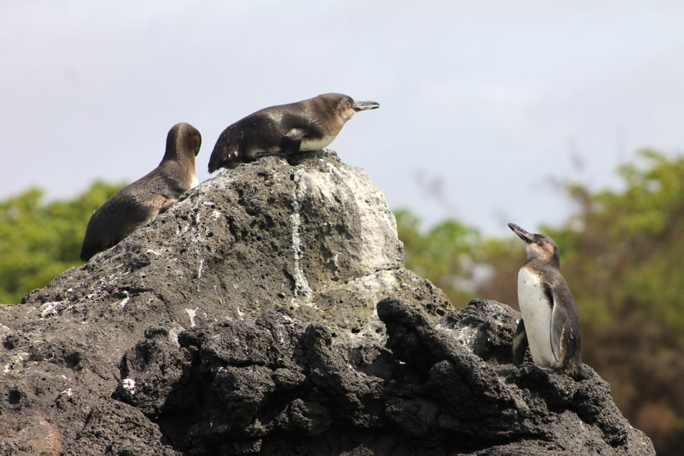 Galapagos penguin family.