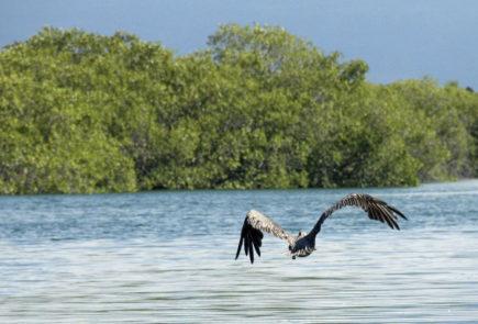 Mangrover Galapagos Islands.