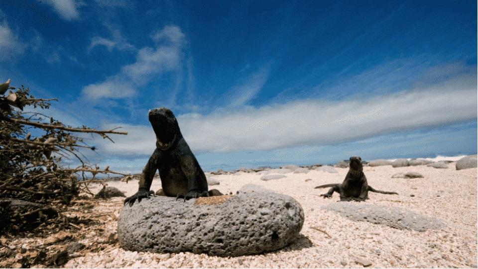 Marine iguana in the Galapagos Islands beach.
