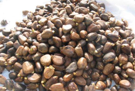 Breadfruit seeds