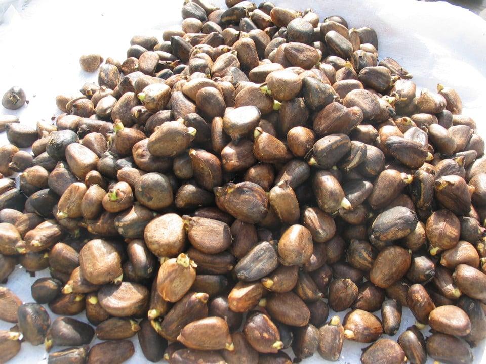 Breadfruit seeds