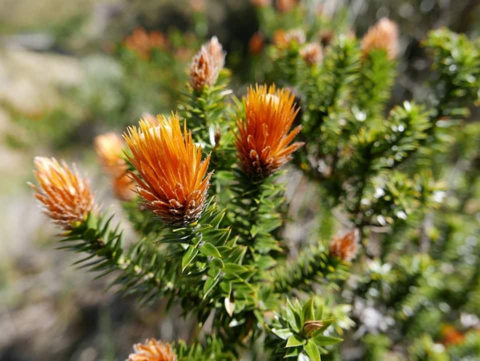 Chuquiragua, the flower of the Andes. Photo credit: birdsofpassage.files.wordpress.com