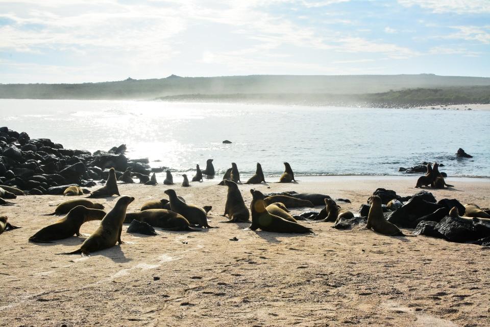 Galapagos sea lions at the beach.