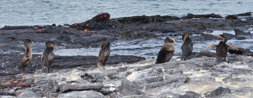 Flightless cormorants in Fernandina Island.