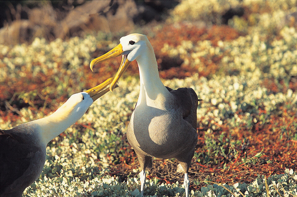 Galapagos albatross is one of the iconic species.