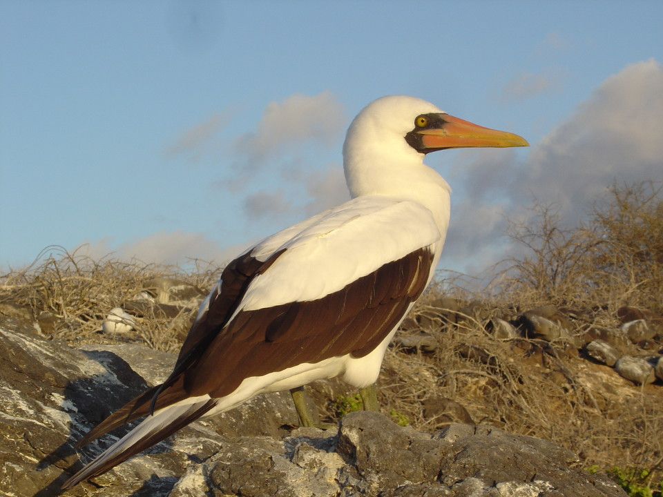iconic specie Galapagos Nazca Booby.