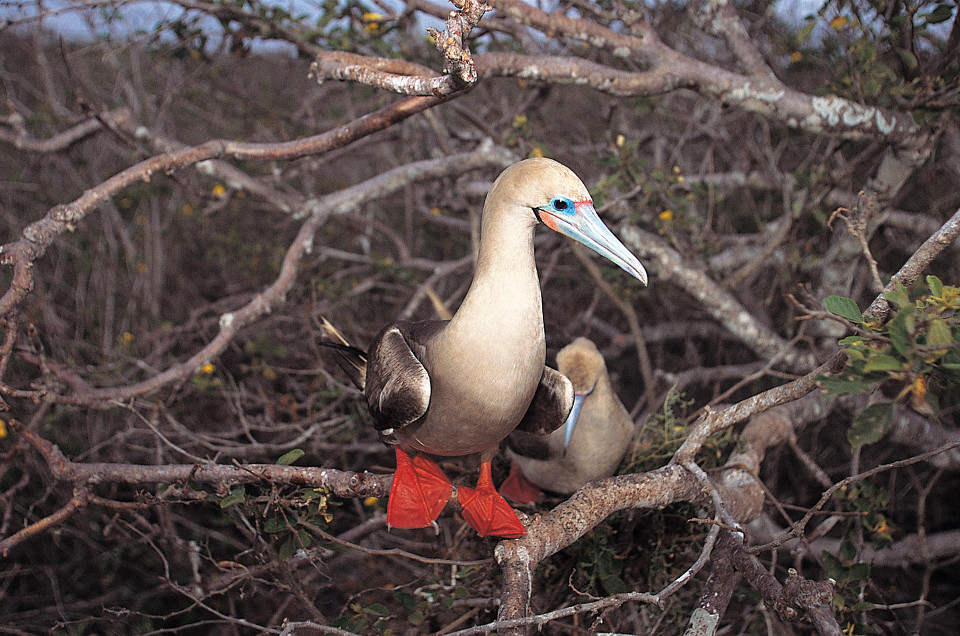 Galapagos Islands red-footed booby.
