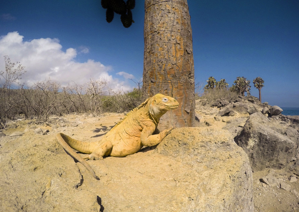 The land iguana is a Galapagos Islands iconic specie.