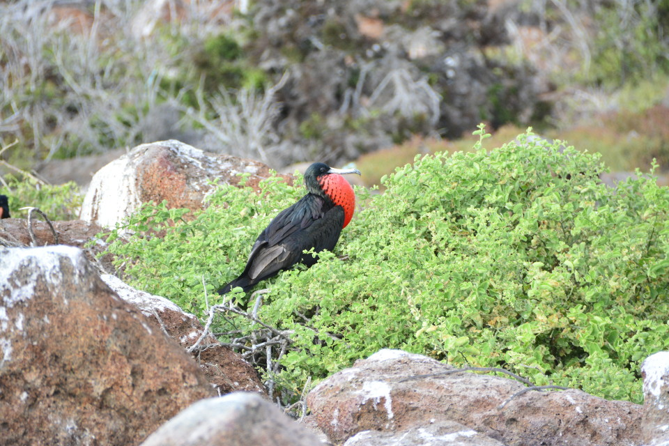 Magnificent frigatebirds are one of the iconic species of the Galapagos Islands.