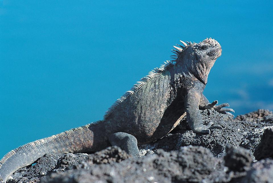 Galapagos iconic specie, marine iguana.