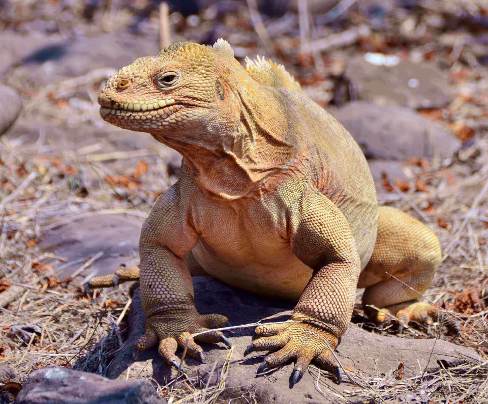 Santa Fe endemic land iguana.