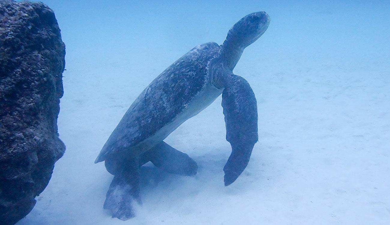 Giant Marine Turtle