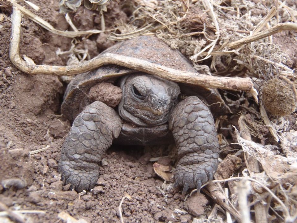 Good News From the Galapagos Islands. Pinzon Giant Tortois Hatchling. Photo credit: Francesca Cunninghame for Island Conservation