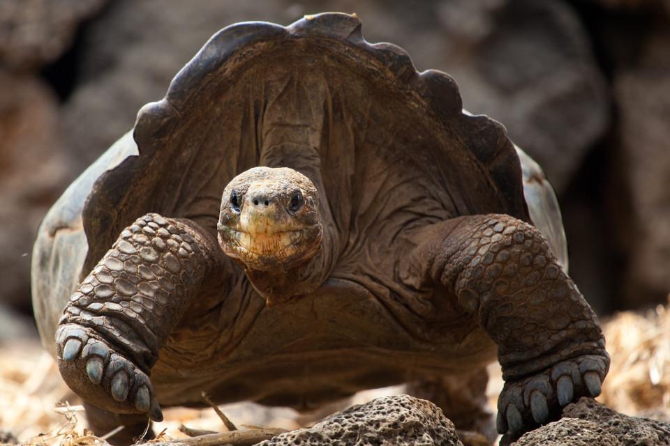 Adult Pinzon giant tortoise in the Galapagos Islands.