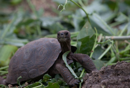 Galapagos gian tortoise an iconic specie of the islands.