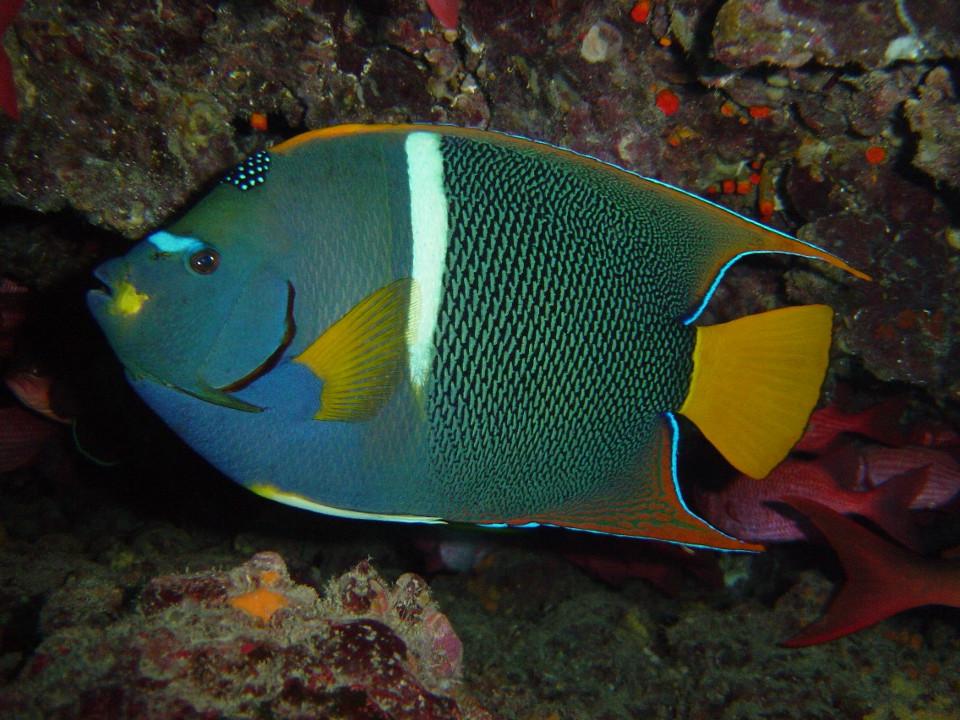 king angel fish in galapagos