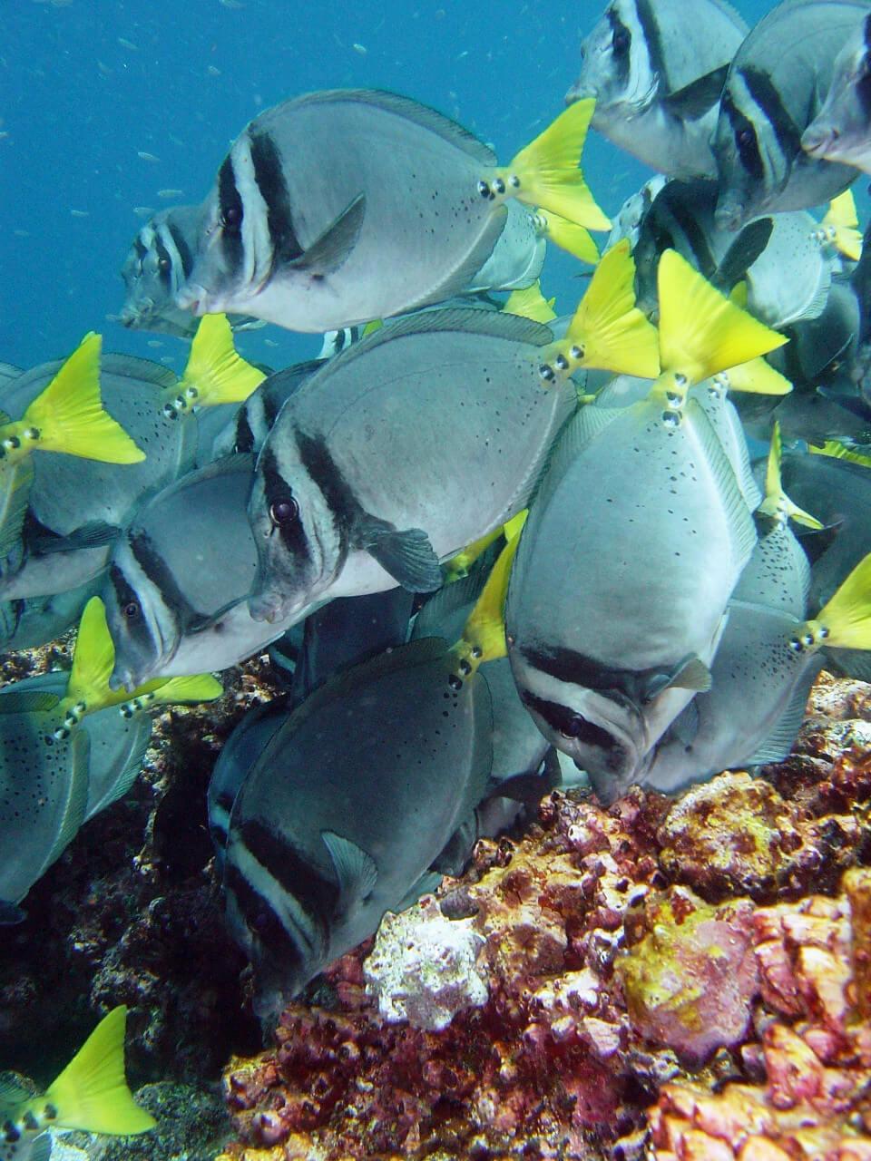 Yellow tail surgeon swimming in Galapagos.