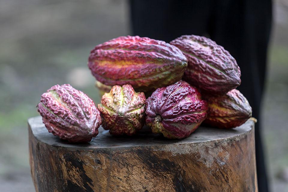 Cocoa bean from Hacienda La Danesa, Guayaquil