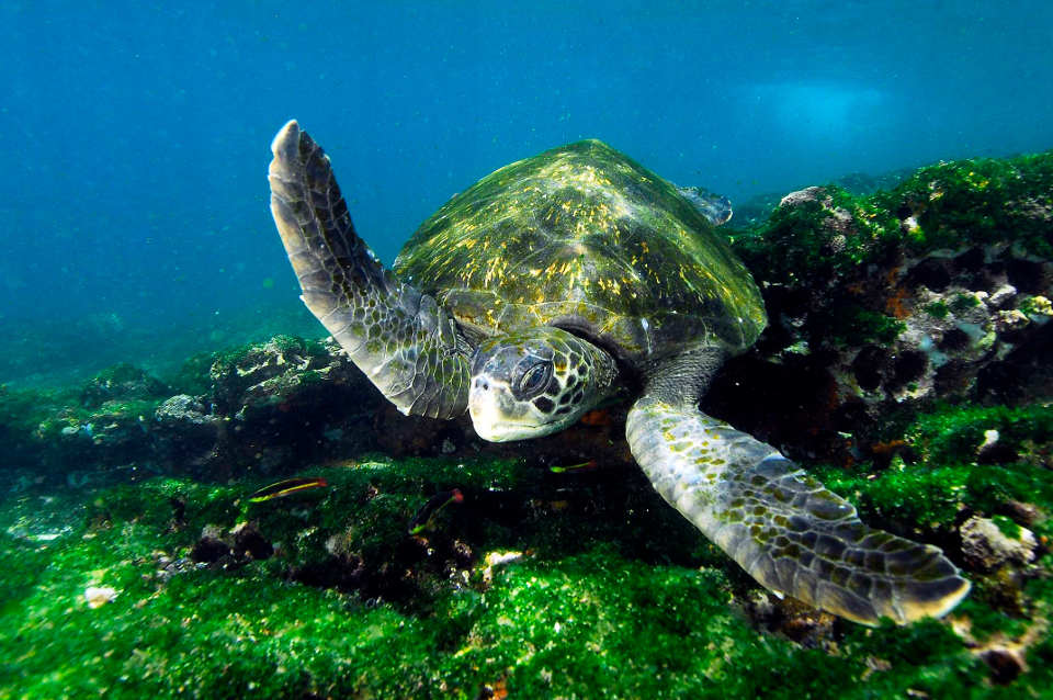 sea turtle galapagos news roundup march
