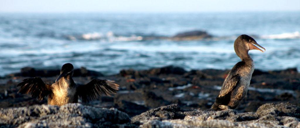 Galapagos Islands flightless cormorant.