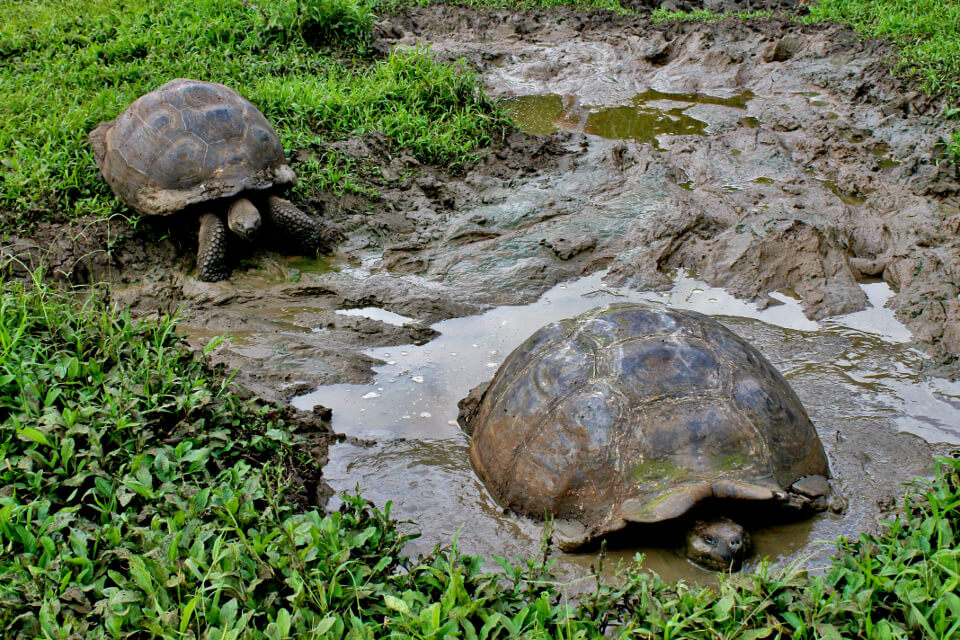 Galapagos iconic specie, the giant tortoise.